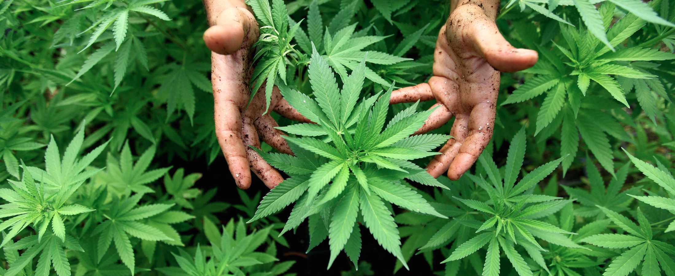 cannabis, cannabinoids,